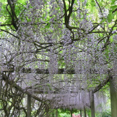 The Wisteria was in full bloom in May 2011 - giving an amazing effect as you pass through the walkway | Fiona MacDonald