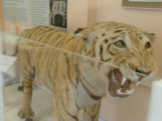 The Tiger from Cedars Park in Lowewood Museum | Nicholas Blatchley, by kind permission of Lowewood Museum