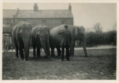 Elephants and their keeper outside the Goffs Oak Hotel