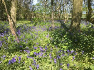 Blue bells in the wood near bridge over A10 bypass