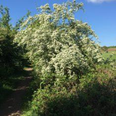 Hawthorn Bush on lower Ware Park path, 3rd May 2020 | Geoff Cordingley