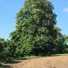 Large horse chestnut tree on lower Ware Park path, 5th May 2020 | Geoff Cordingley