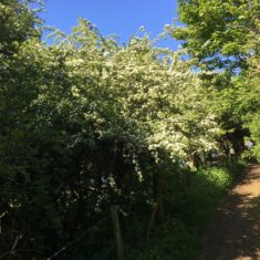 Hawthorn Bush on lower Ware Park path 3rd May 2020 | Geoff Cordingley