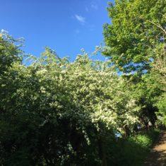 Hawthorn Tree 3rd May 2020 | Geoff Coridngley