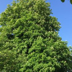 Horse chestnut tree on lower Ware Park path | Geoff Cordingley