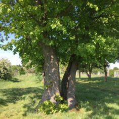 Split tree in Ware Park Arboretum, 4yh May 2020