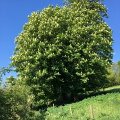 Horse Chestnut Tree on lower Ware Park path 3rd May 2020 | Geoff Cordingley
