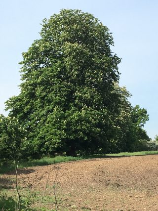 Horse chestnut tree on lower path through Ware Park, 6th May 2020 | Geoff Cordingley