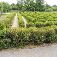 The maze. Note the relative height of the shrubs. It was necessary to wait some time till a number of children had left. Jun 2020 | Colin Wilson
