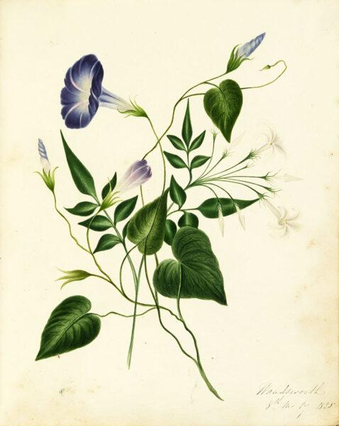 Watercolour of purple flowers | HALS (ref Acc 3133)