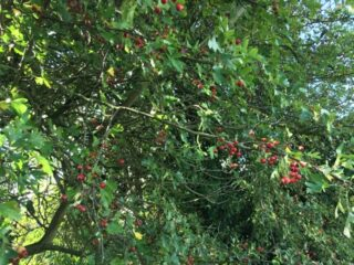 Tree in Bengeo | Geoff Cordingley