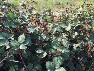 Blackberries | Geoff Cordingley