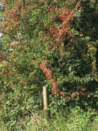 Fruiting tree on the path in Ware Park | Geoff Cordingley