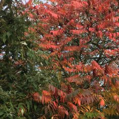 Red leaves on tree in Autumn | Geoff Cordingley