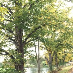 A number of trees with leaves turning yellow against the light | Geoff Cordingley