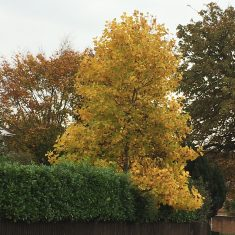 Large autumnal tree with yellow and gold leaves | Geoff Cordingley