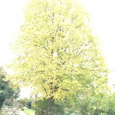 Large totally yellow tree in Autumn against the light giving an ethereal look | Geoff Cordingley