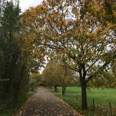 Line of young lime trees with leaves turning yellow alongside an unmade-up road | Geoff Cordingley