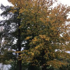 Lime tree with leaves turning yellow, brown and golden | Geoff Cordingley