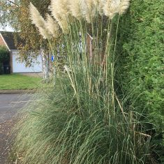 Tall pampas grass with many white fronds | Geoff Cordingley