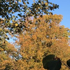 small lime tree with leaves changing colour to orange, copper and rust with a light blue sky background | Geoff Cordingley