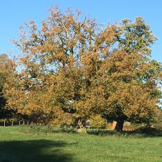Large spread out lime tree with leaves changing colour to orange, copper and rust with a light blue sky background | Geoff Cordingley