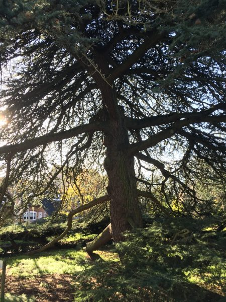 Image shows structure of large cedar tree highlighted by sun from behind. | Geoff Cordingley
