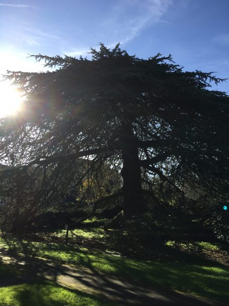 Large cedar tree shot against the light with the sun peaking over it and covering the top left had corner of the image | Geoff Cordingley