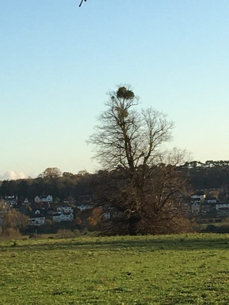 Lone tree in field without leaves but with a clump of mistletoe at the top. | Geoff Cordingley