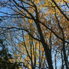 Late afternoon sun shining on trees silhouettes sparsely covered with yellow and copper coloured leaves with a dark blue sky background | Geoff Cordingley