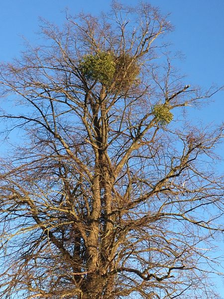 Lime tree with few leaves and a clump of mistletoe at the top | Geoff Cordingley