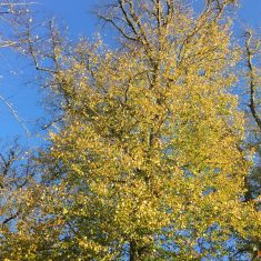 Small lime tree with leaves changing colour to yellow witha light blue sky background | Geoff Cordingley