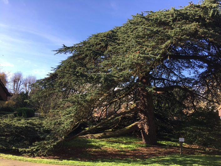 Large cedar tree with huge canvas of leaves and many branches | Geoff Cordingley