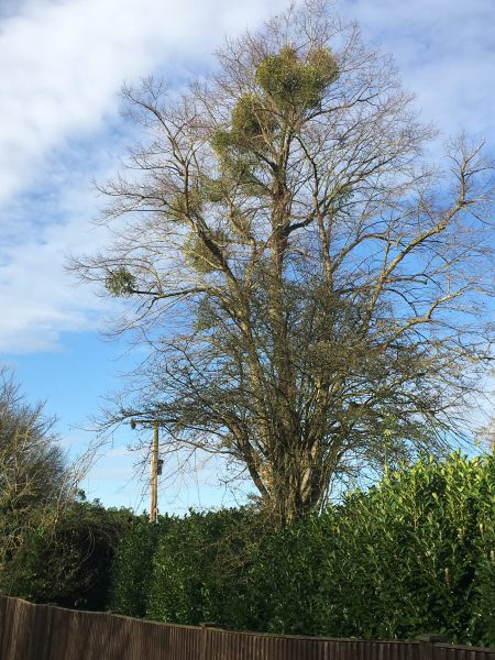 Large tree without any foliage but a number of clumps of mistletoe near the tops of the branches with a cloudy blue sky behind and a green hedge in front.