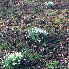 Three, small clumps of snowdrops in brown ground with patches of gree around | Geoff Cordingley