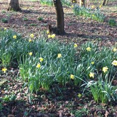 A clump of early daffodils in the foreground and centre with a further clump towards the top of the picture. There is a small clump of snowdrops to the front left and surrounding the flowers is mainly earth with patches of greenery. There are the lower parts of a number of trees towards the top. | Geoff Cordingley