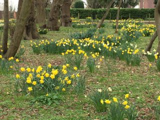 Large number of clumps of daffodil flowers mainly yellow with a few white ones in the middle. There are a number of tree trunks on the left with a couple of trunks on the right \nd two in the middle distance. The rest of the scene is covered in grass with a narrow road In the background with a green hedge on the other side. | Geoff Cordingley