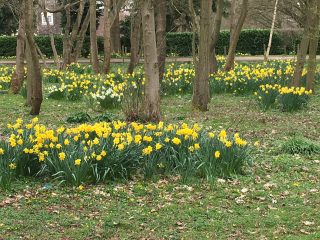 Large number of clumps of daffodil flowers mainly yellow with a few white ones in the middle. The clumps are interspersed between a number of tree trunks. The rest of the scene is covered in grass with a narrow road In the background with a green hedge on the other side. | Geoff Cordingley