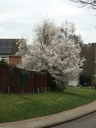 Large damson treein full white bloom leaning over a brown boundary fence with a house to the left and grass and a path in the foreground | Geoff Cordingley