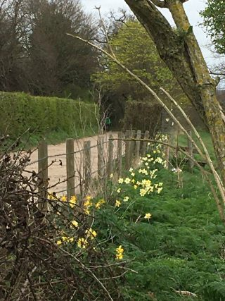 bunches of flowering daffodils alongside a concrete posed fence with wire between the posts.around the clumps of daffodils is green grass with the bows of one tree on the right . On the other side of the fence is more green grass with gree trees in the background.   Geoff Cordingley