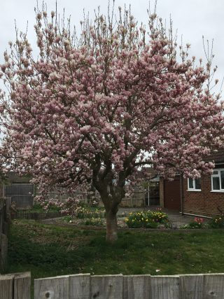 Large magnolia tree in full display with pink and white flowers. The tree is situated in a garden, surrounded by grass. There is the top few inches of a grey, wooden, slatted fence in the foreground and a full, grey, slatted fence in the background. On the right is the wall of a house with two windows, each split vertically into two with the right one a full pane and the left with a fan light. The surrounds of the window are white.   Geoff Cordingley