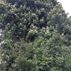 A very large horse chestnut tree covered in spring blossom. A small section of white light in the top right hand corner.