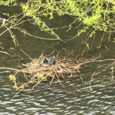 A grey coot sitting on a nest in the river with a few overhanging branches with green leaves at the top.   Geoff Cordingley