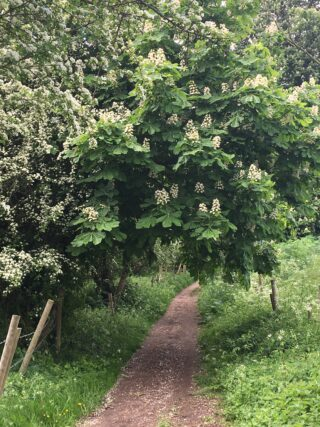 A narrow, flat path with trees overhanging from the left containing lots of white blossom. On either side fo the path is grass.