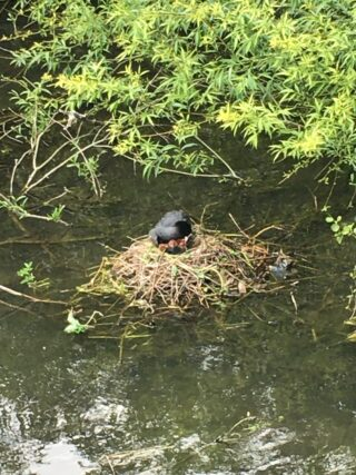 Two weeks later, a grey coot sitting on a nest in the river but now with three hungry mouths to feed.ves at the top.   Geoff Cordingley