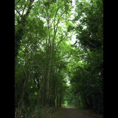 Tall ash trees on the 1:37 gradient up from Harpenden to Roundwood. | July 2010, © St Albans Museums