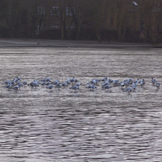 Gulls gathered on the ice on The Lake in Verulamium Park | by Richard Brockbank