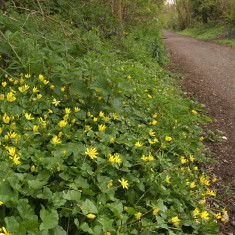 Lesser Celandine beside the track between Hill End and Smallford, April 2010. | © St Albans Museums