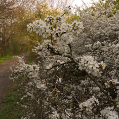 Blackthorn bushes beside the track at Acrewood, between St Albans and Hatfield, April 2010. | © St Albans Museums