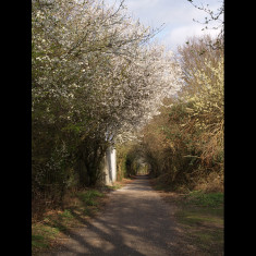 Flowering cherry near Smallford Station, March 2009 | © St Albans Museums